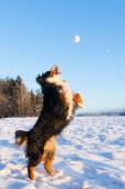 Dog catching snowball — Stock Photo