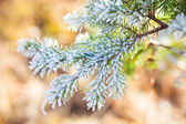 Frozen spruce branch — Stock Photo