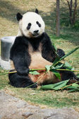 Panda eating bamboo — Stock Photo