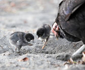 Chicken family searching food at beach — Stock Photo