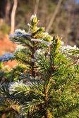 Frozen spruce branch — Stock Photo