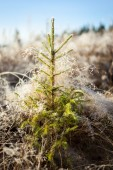 Small spruce and frost hay morning sun — Stock Photo