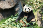 панда съедая бамбук — Стоковое фото