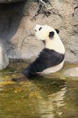 гигантская панда, сидящая в воде — Стоковое фото