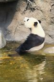 Giant panda sitting in water — Stock Photo