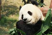 Panda eten bamboe — Stockfoto