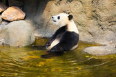 Giant panda sitting in water — Stock Photo