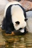 Panda near water — Fotografia Stock
