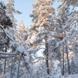 Snowy forest and warm sunlight — Stock Photo #65436761