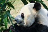 Panda comendo bambu — Fotografia Stock