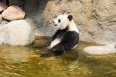 Giant panda sitting in water — Stockfoto