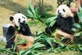 Two pandas eating bamboo — Stock Photo
