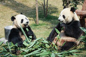 Two pandas eating bamboo — Stok fotoğraf