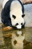 Panda near water — Stock Photo