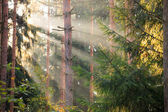 Sun rays in the middle of forest — Stock Photo