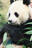 Panda bambus essen — Stockfoto