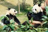 Two pandas eating bamboo — Foto Stock