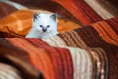Cute birman kitten sitting on bed — Stockfoto