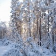 Snowy forest and warm sunlight — Stock Photo #75816159