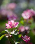 Krásný apple tree květiny — Stock fotografie