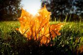 Maple leaf on grass illumited by sunrise light — Stock Photo