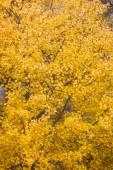 Yellow aspen foliage at autumn — Stock Photo