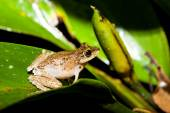 Small frog at big leaf in rainforest — Stock Photo