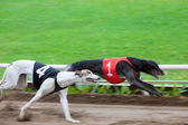 Greyhound dogs racing — Stock Photo