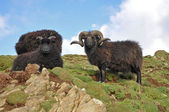 Black Hebridean Ram and ewes — Stock Photo