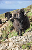 Black Hebridean Ram — Stock Photo