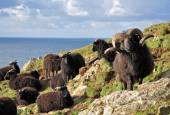 Hebridean sheep at Baggy Point — Stock Photo