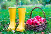Closeup of yellow rubber boots and basket with red apples in the garden — Stock Photo