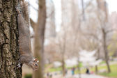 Squirrel on the tree in Central park, New York — Stock Photo