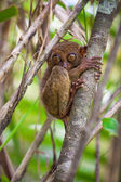 Small cute tarsier on the tree in natural environment at Bohol island, Philippines — Stock Photo
