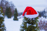 Santa hat on spruce bush — Stock Photo