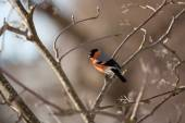 Bullfinch in winter day — Stock Photo