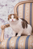 Scottish fold cat on the chair — Stock Photo