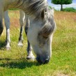 White horse grazing on a green meadow — Stock Photo #53478805