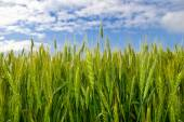 Young ears of grain on the background of blue sky — Stock Photo