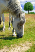 White horse grazing on a green meadow — Stock Photo