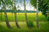 Four birches on a background field of sunflowers — Stock Photo