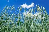 Green ears of wheat on the blue sky background. — Stock Photo