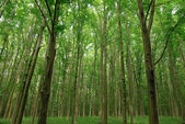 Slender trees in young forest green in summer — Stock Photo