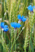 Blue cornflower in the field among the ears of cereal — Fotografia Stock