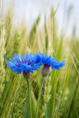 Blue cornflower in the field among the ears of cereal — Stock Photo