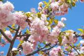Sakura tree blossoms in spring against a blue sky. — Stock Photo