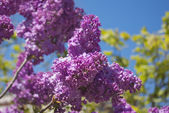 Blooming lilac bushes against the clear blue sky in spring — Stock Photo