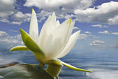 White water lily blossom among green algae in the lake — Stock Photo