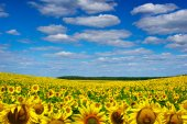 Yellow sunflowers growing in a field under a blue sky — Stock Photo