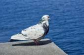 Одинокий голубь сидит на камне, на фоне моря — Стоковое фото